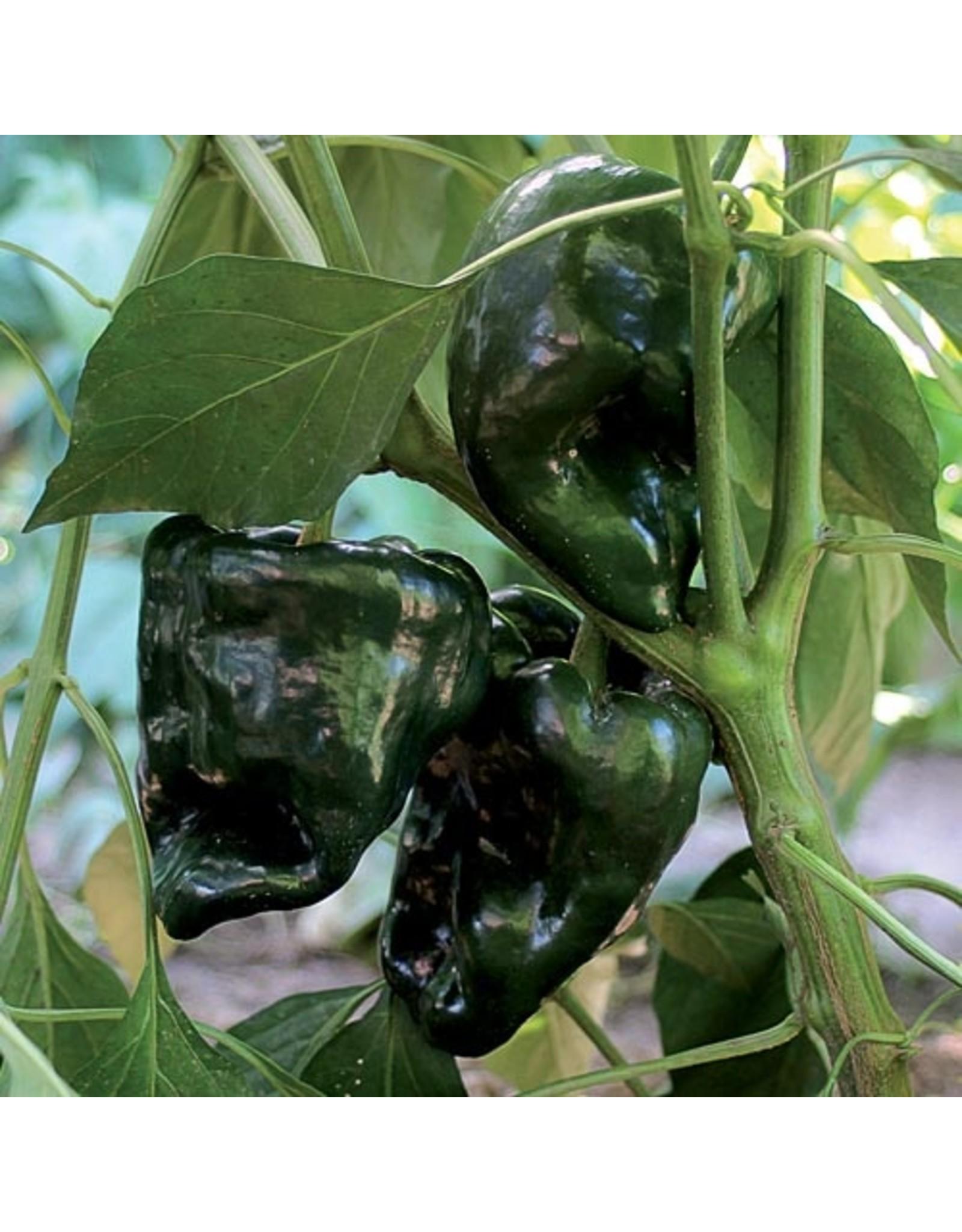 Seed Savers Pepper - Ancho Gigantea