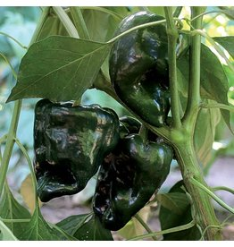 Seed Savers Pepper - Ancho Gigantea