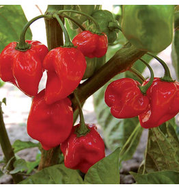 Seed Savers Pepper - Habanero Red