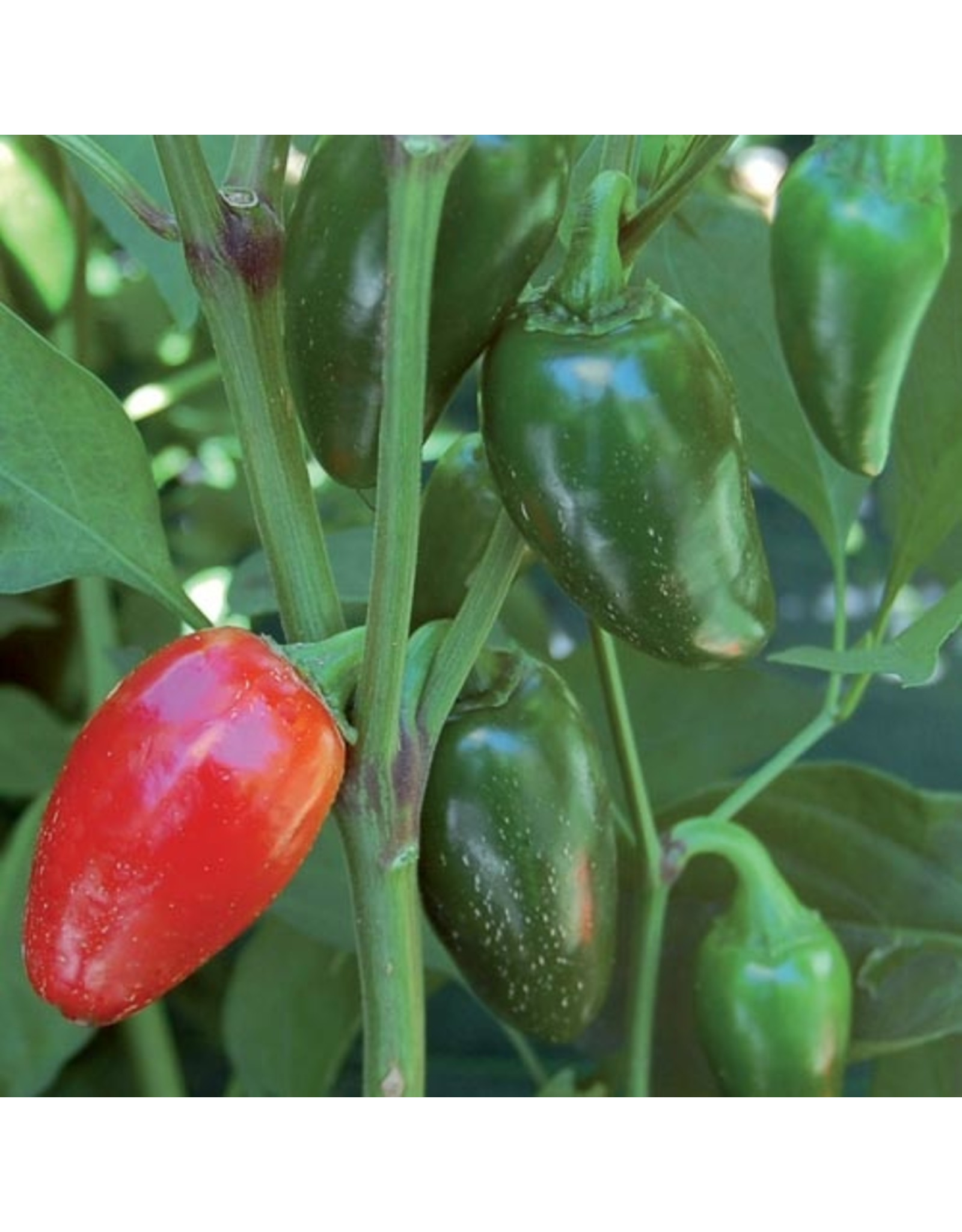 Seed Savers Pepper - Jalapeno Traveler Strain
