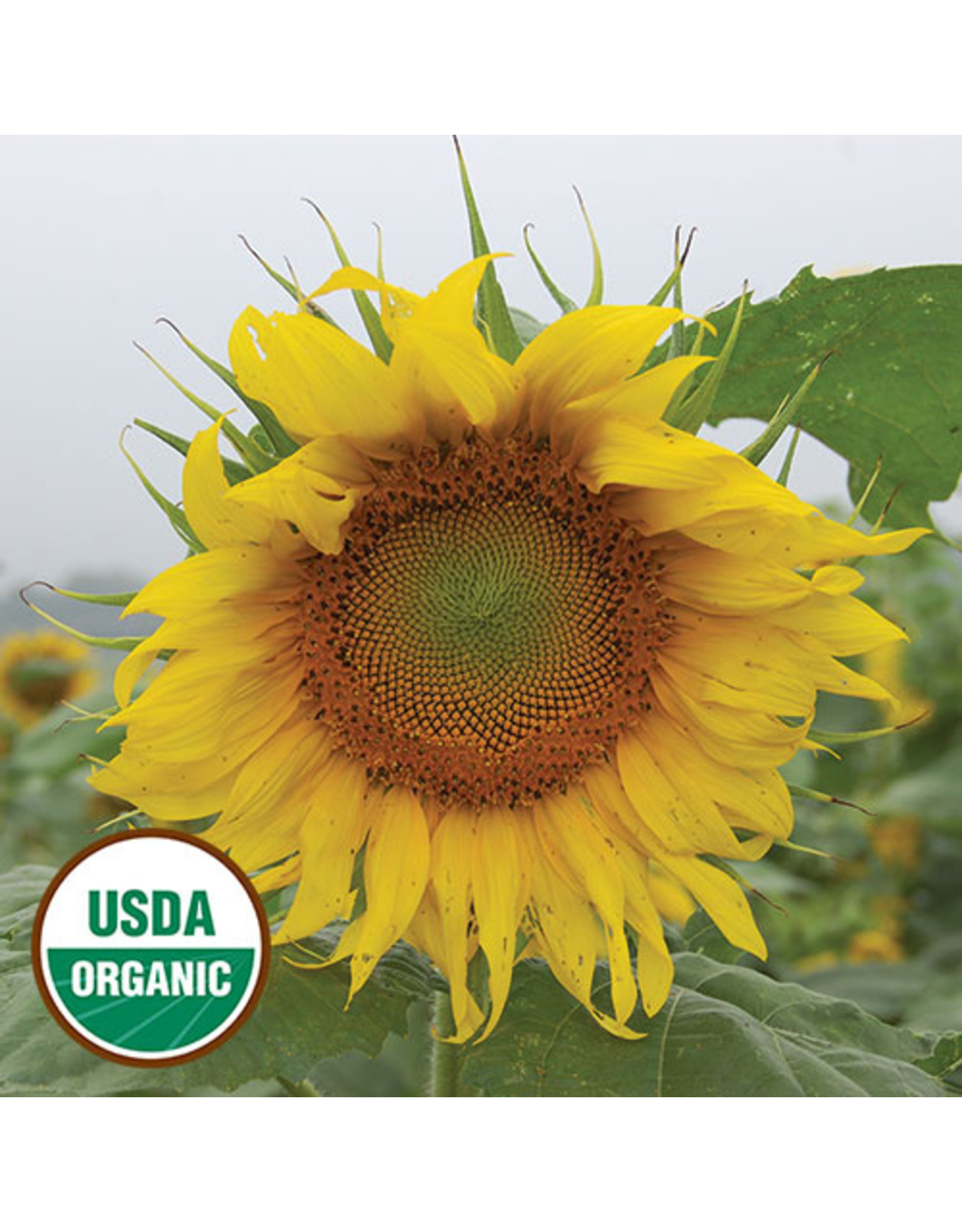 Seed Savers Sunflower - Rostov