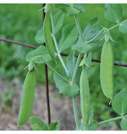 Seed Savers Pea - Sutton's Harbinger Pea
