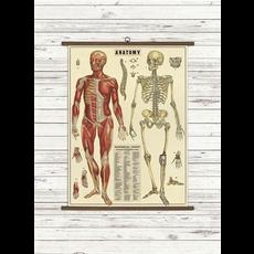 Cavallini Anatomy Vintage School Chart