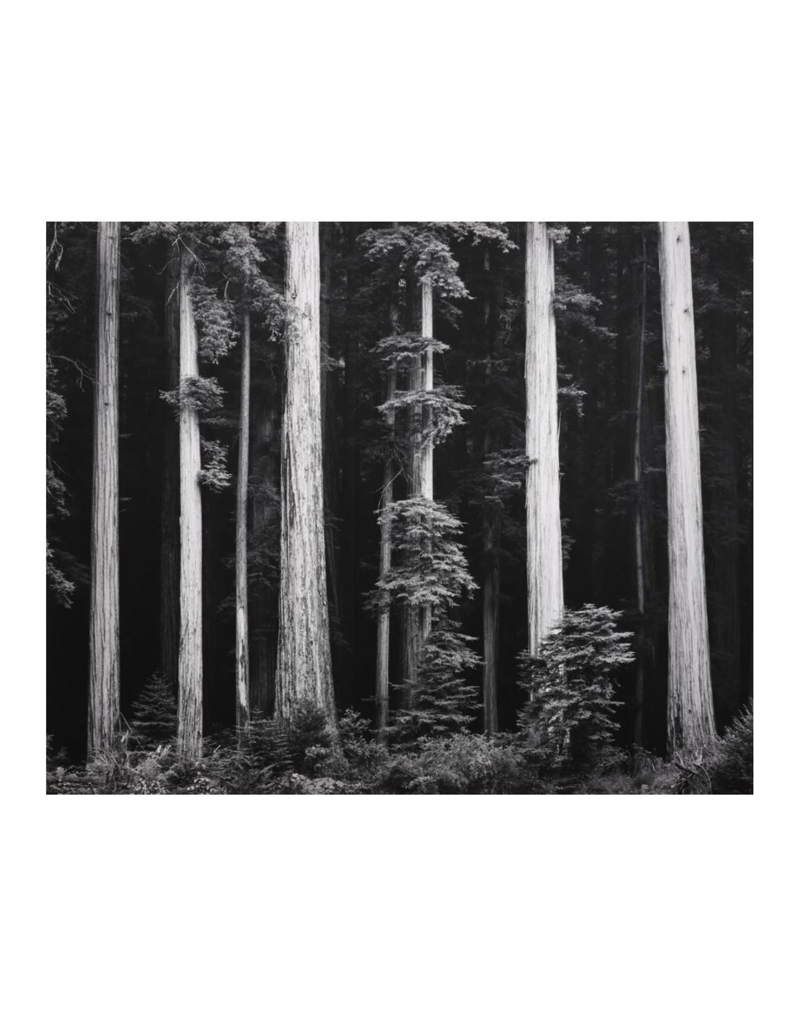 Ansel Adams Redwoods