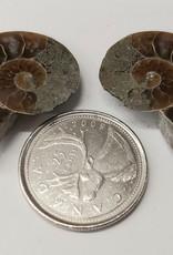 Ammonite Pair Small $8