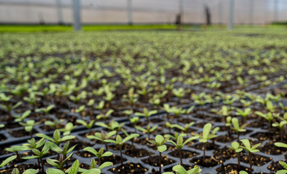 Hemp Seeds & Clones