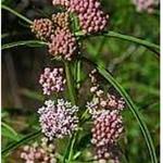 Narrow - Leaf Milkweed