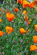 California Poppy, Mixed Color