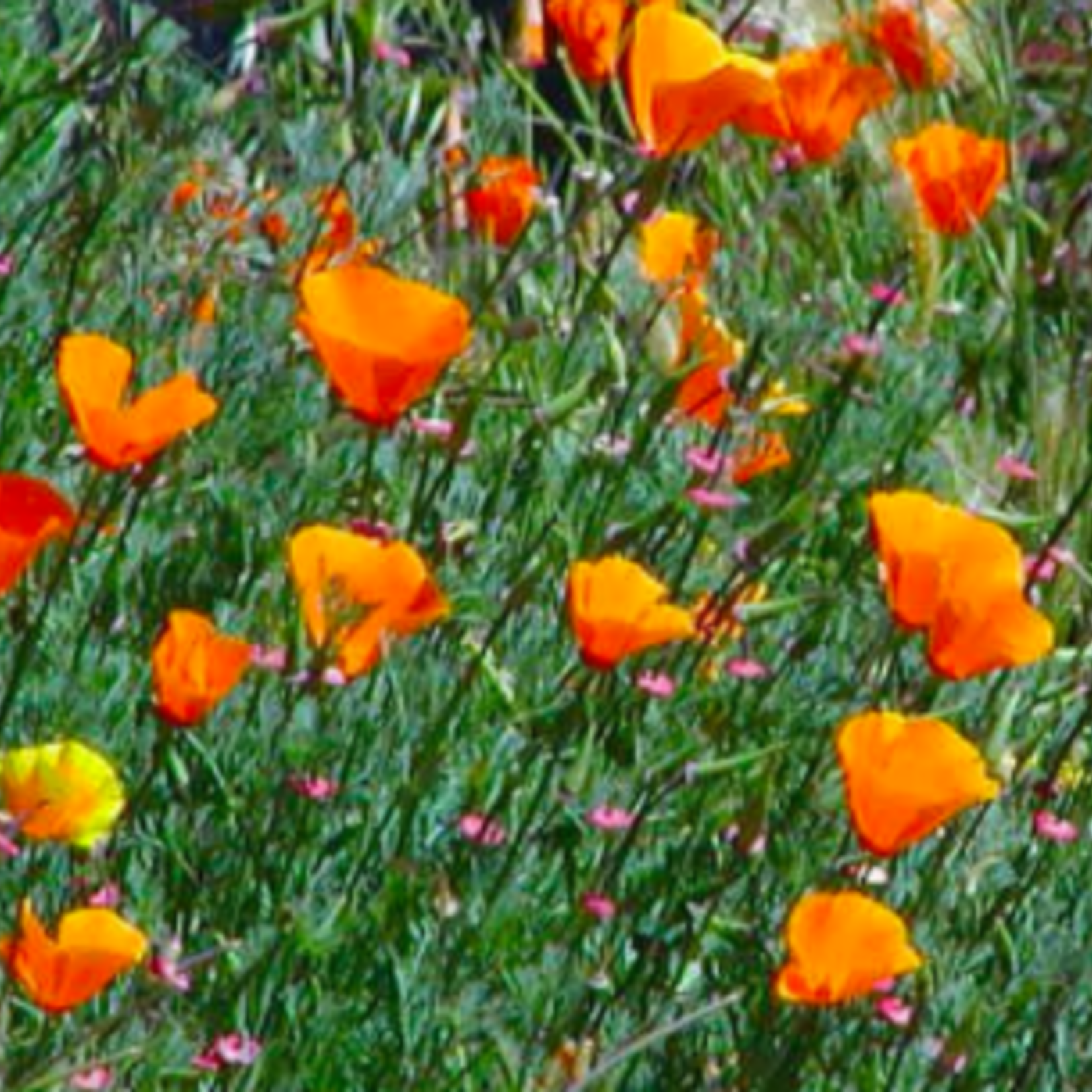 California Poppy, Mixed Color
