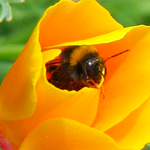 Pollinator Conservation Mix