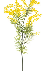 KOCH Aust Nat Wattle Supreme Yellow 85cm
