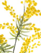 KOCH Aust Nat Wattle Supreme Yellow 85cm