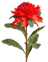 KOCH Waratah Red Aust Native
