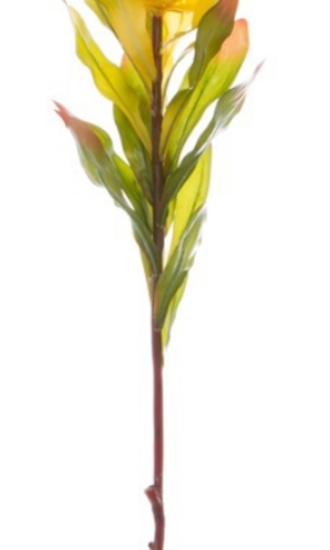 KOCH Leucadendron Green Yellow Australian Nat