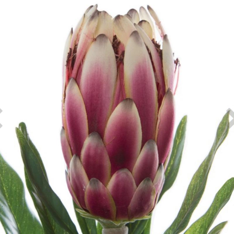 KOCH Protea Dark Pink Aust Native
