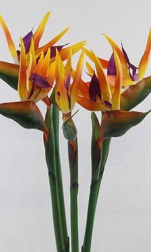 KOCH Bird Of Paradise Orange Exotic single stem