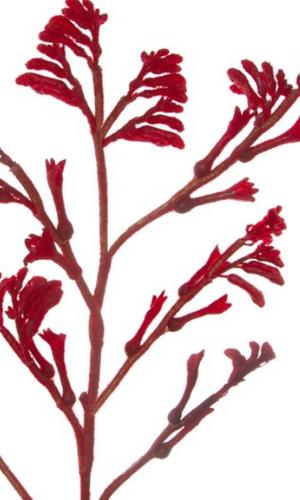 KOCH Kangaroo Paw Red Aust Native