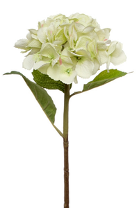 KOCH Giant Hydrangea Light Green