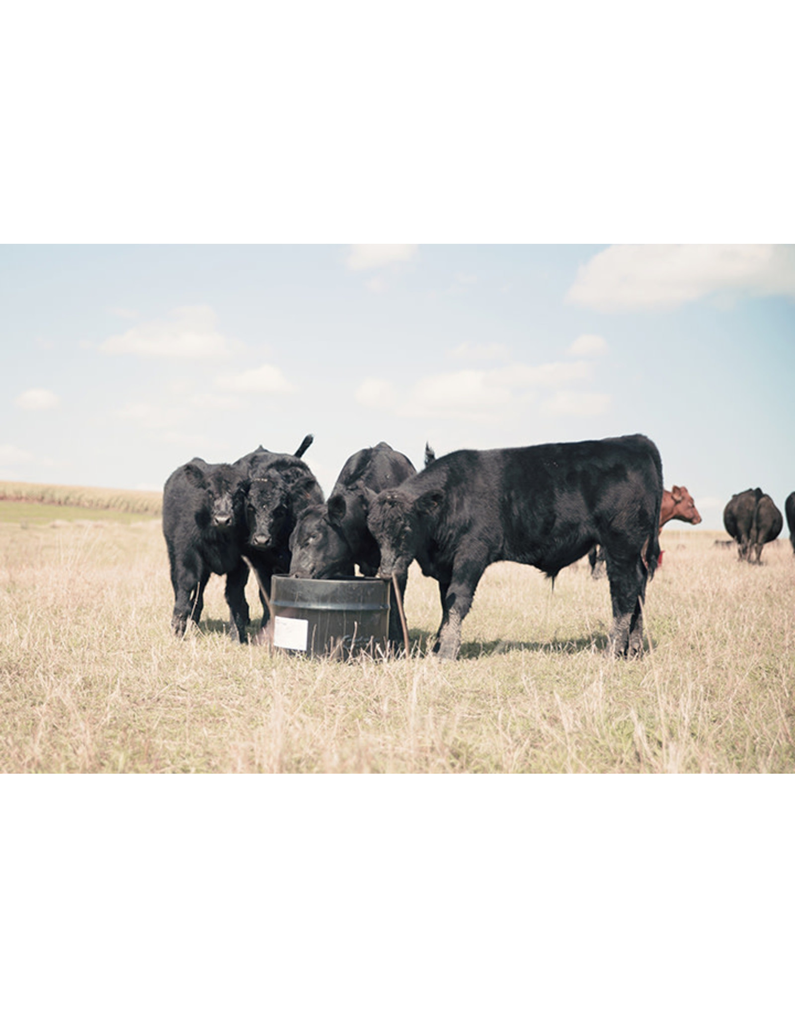 Brigade Steel 250lbs - Ideally fortified and suited for weaning calves and cattle 45 days prior to breeding. Statistically shown to add .38 lbs average daily gain, decrease calf mortality by half, and decrease incidences calf illness by almost HALF.