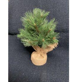 "Small Evergreen Tree in Burlap - TRG6978 12"" tall"