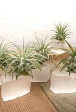 Mist and Sea Air Plants