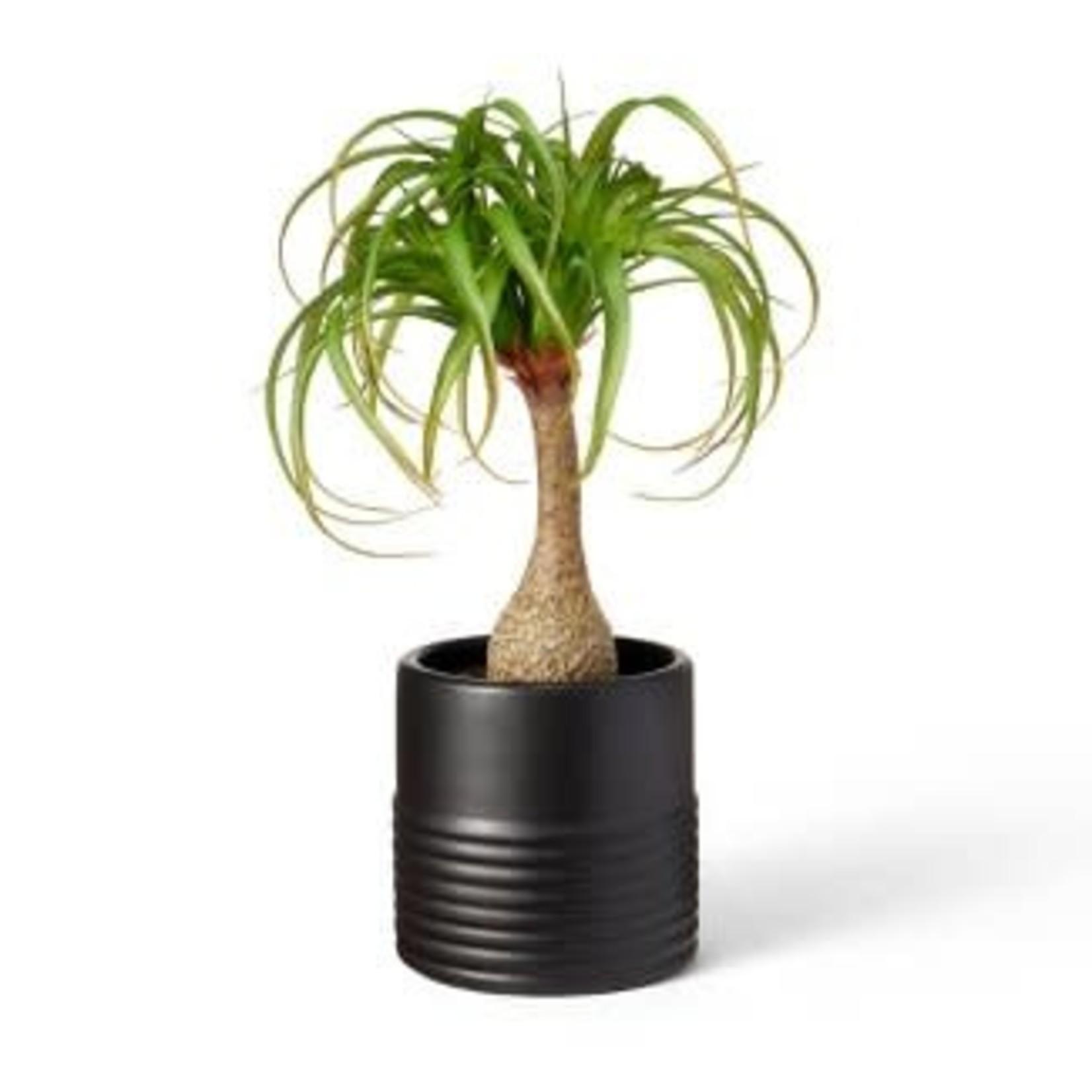 "18"" x 12"" Faux Ponytail Palm Plant in Ribbed Ceramic Pot Black"