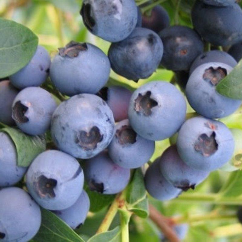 "Blueberry ""Emerald"" 3 Gallon"