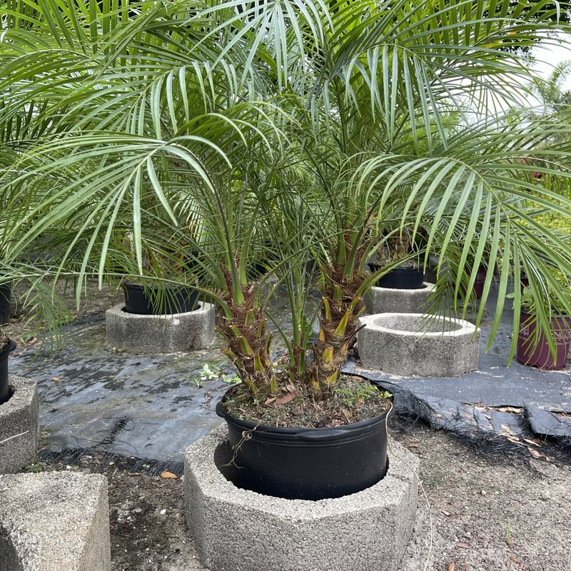 Pygmy Date Palm 7 Gallon