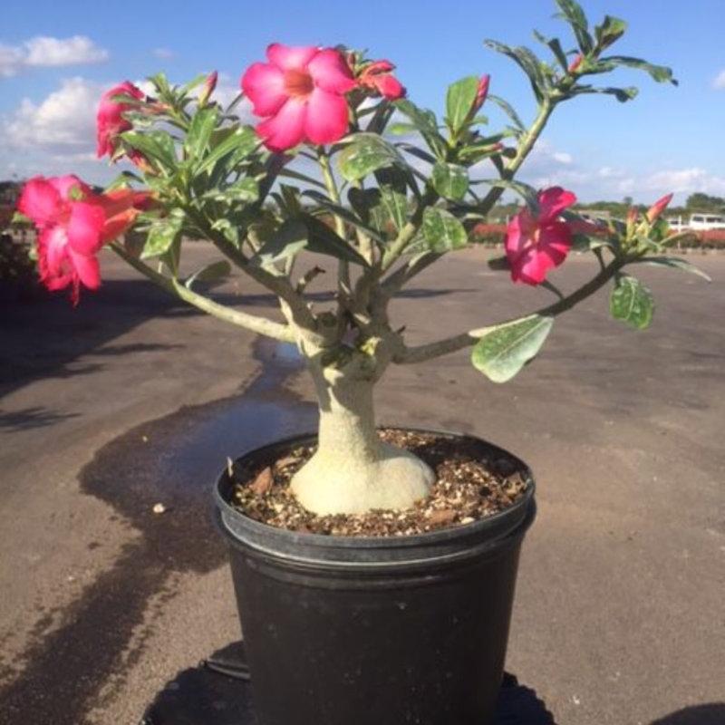 Desert Rose 3 Gallon
