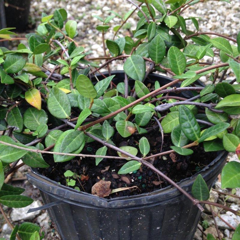 Asiatic Jasmine 1 Gallon