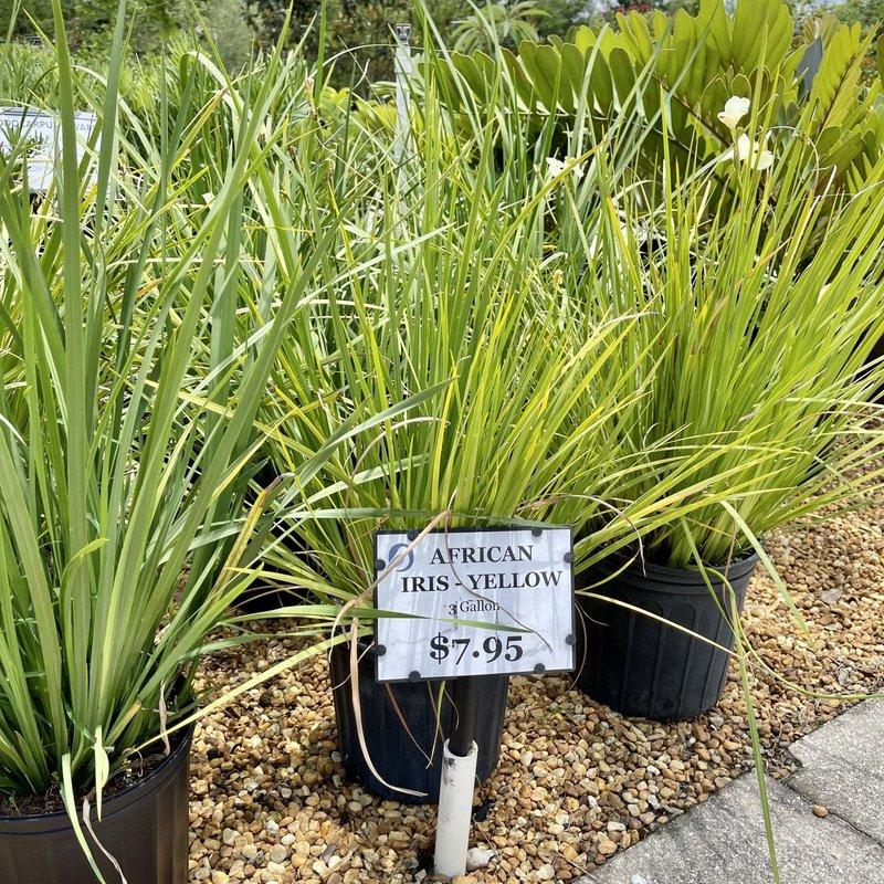 African Iris Yellow 3 Gallon