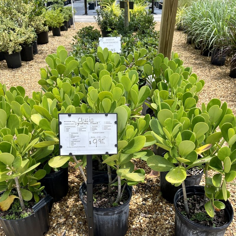 Clusia 'Signature Plant' 3 gallon