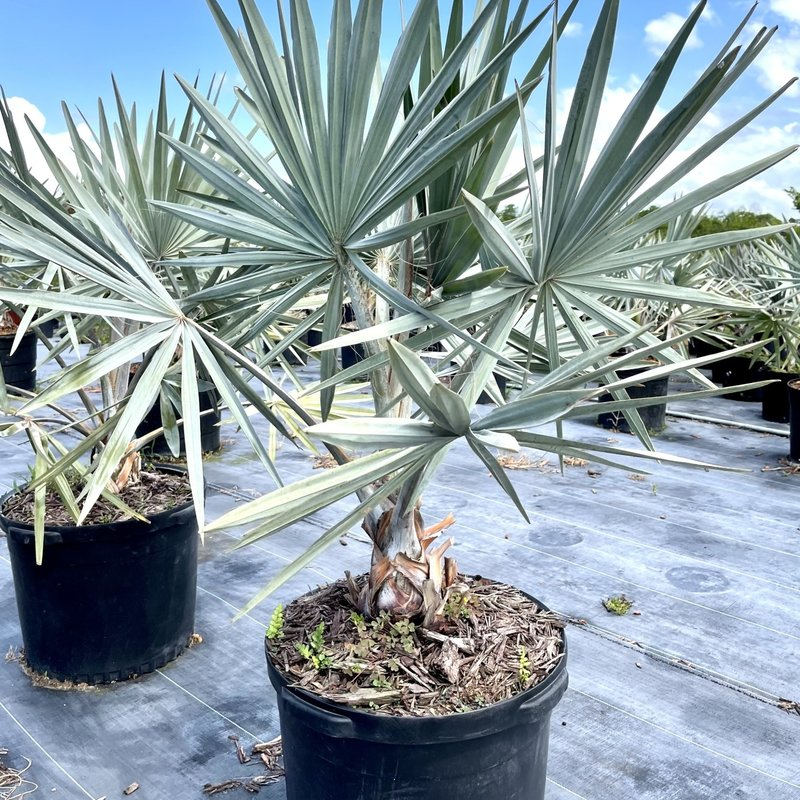 Bismarkia Palm 10/15 Gallon