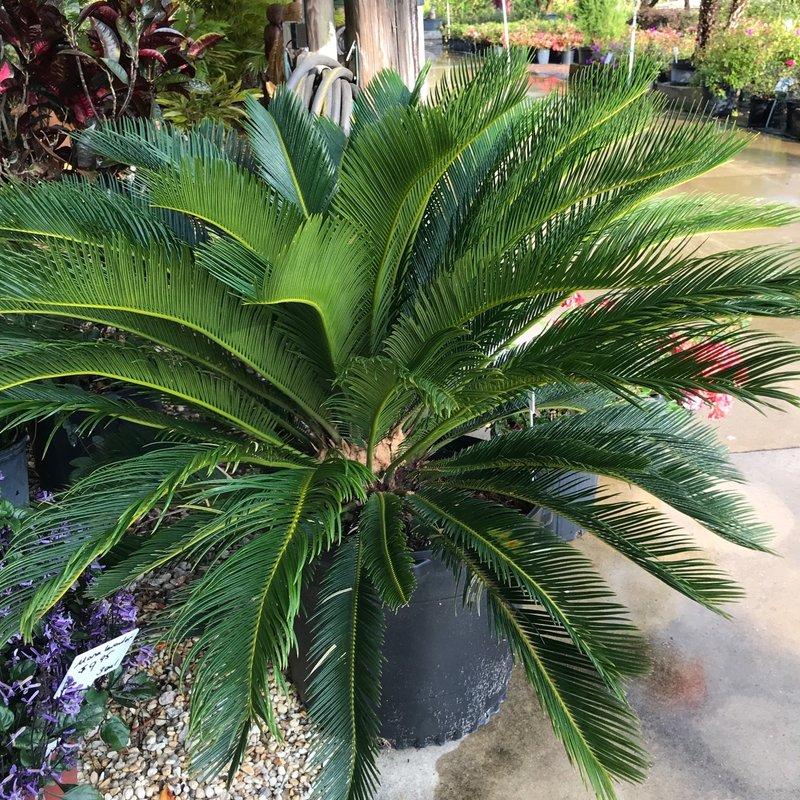 Sago Palm 10/15 Gallon