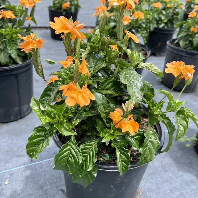 Crossandra Orange 3 Gallon