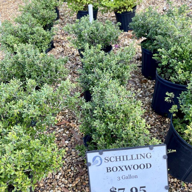Boxwood Ilex Schillings 3 Gallon