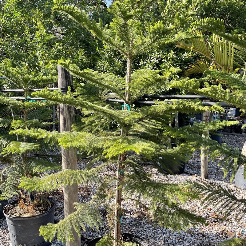 Pine Norfolk 15 gallon