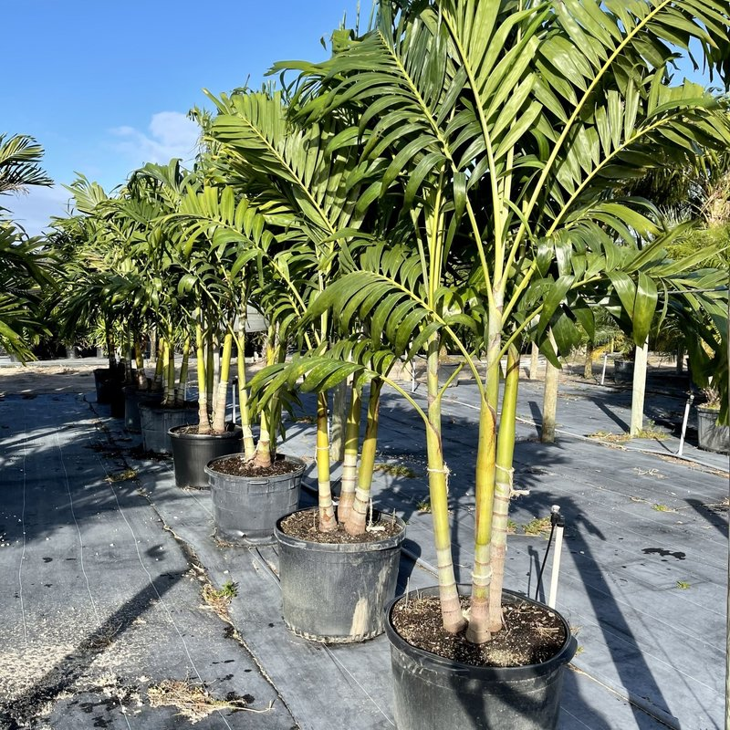 Triple Adonidia 'Christmas Palm' 25 Gallon