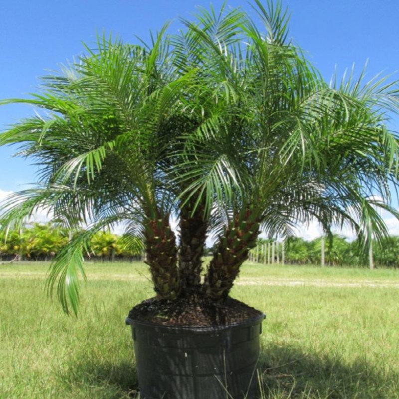Phoenix roebelenii 'Pygmy Date' Palm 25 Gallon