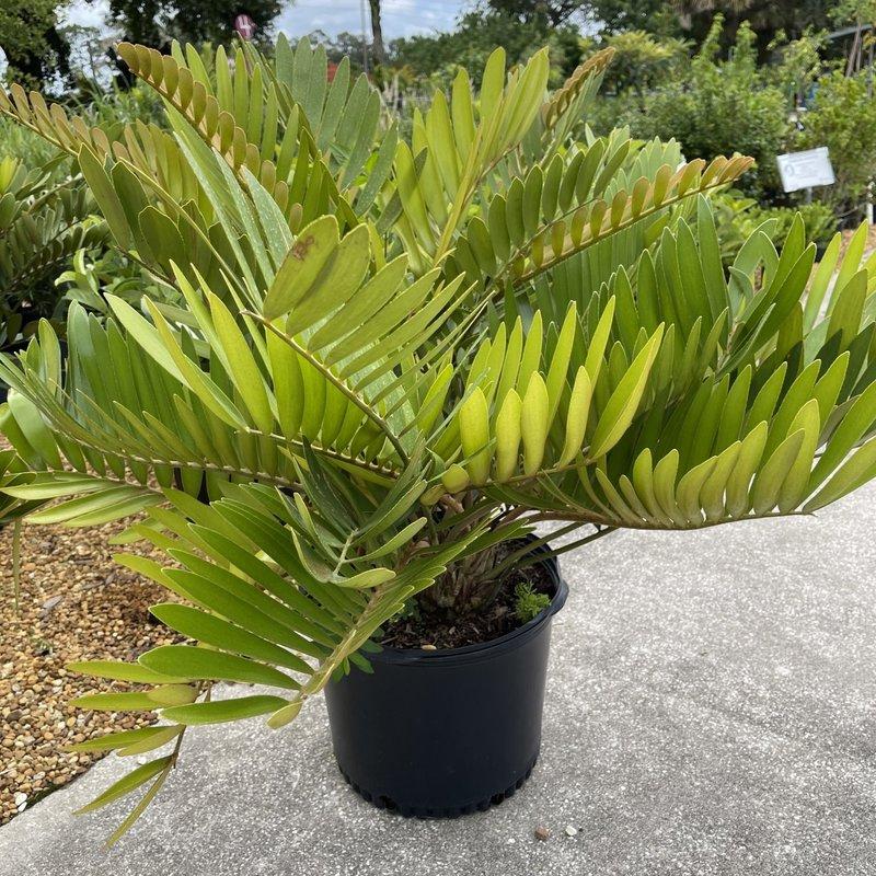 Cardboard Plant/Palm 7 Gallon