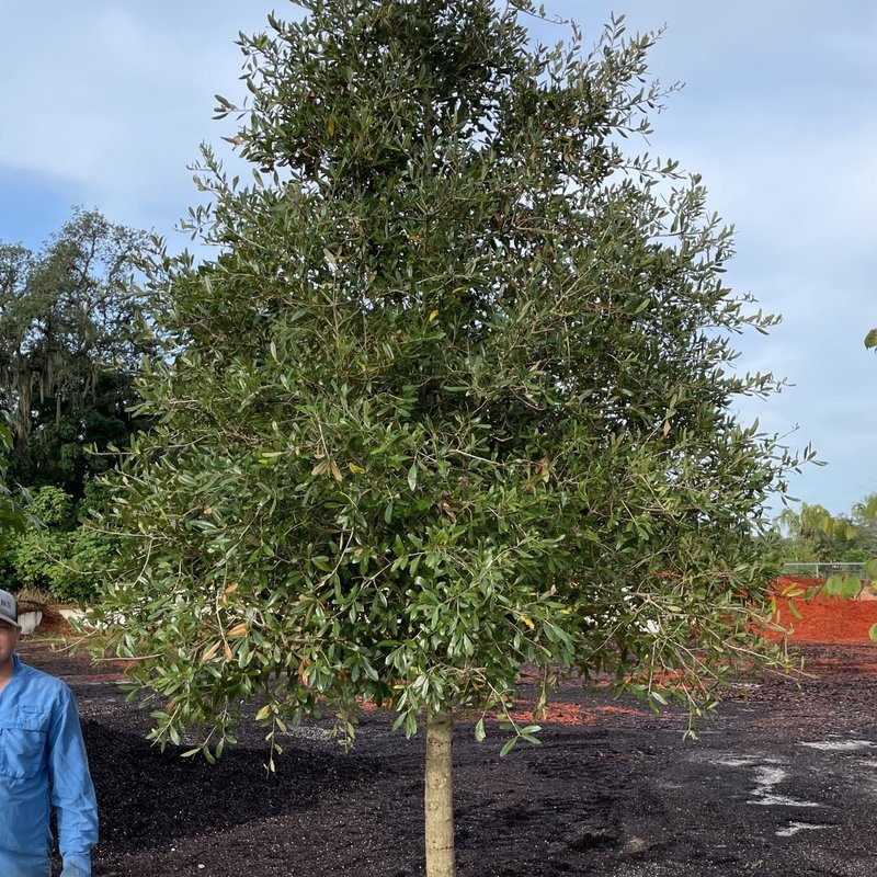 Live Oak Tree 'Quercus virginiana' Parkside B&B