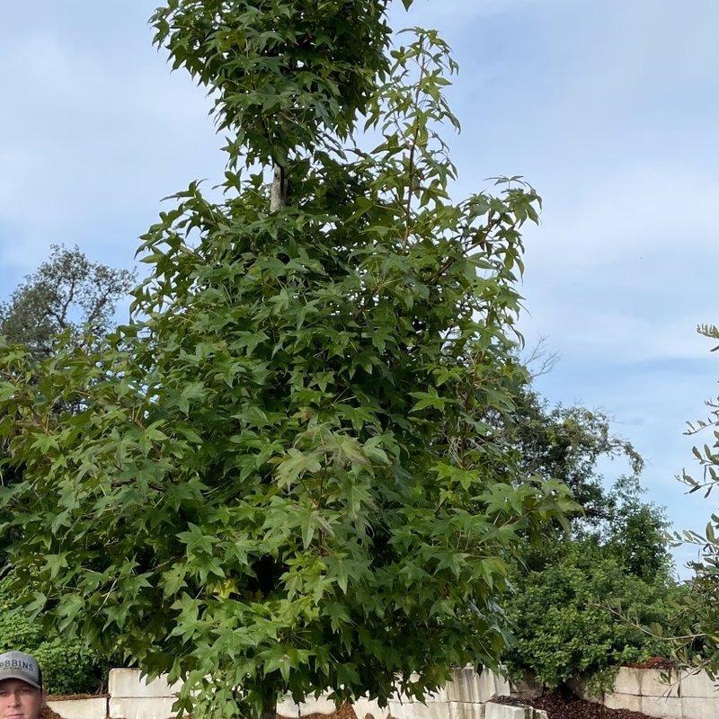 Sweet Gum Moraine Tree 'Liquidambar styraciflua' B&B