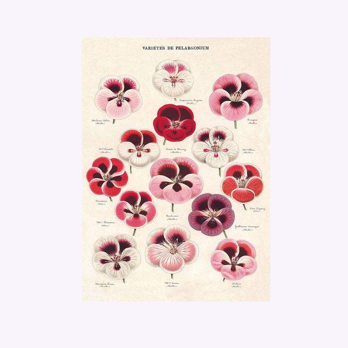Cavallini Cavallini Pelargonium Varieties Poster