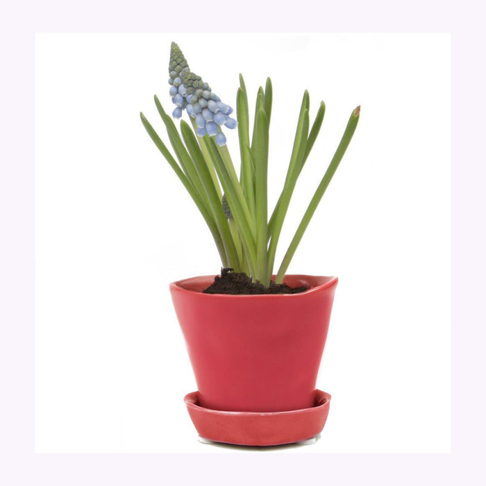 Chive Chive Red Tika Planter