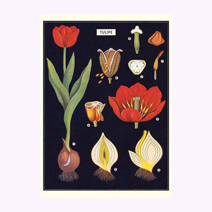 Cavallini Affiche Tulipe Cavallini
