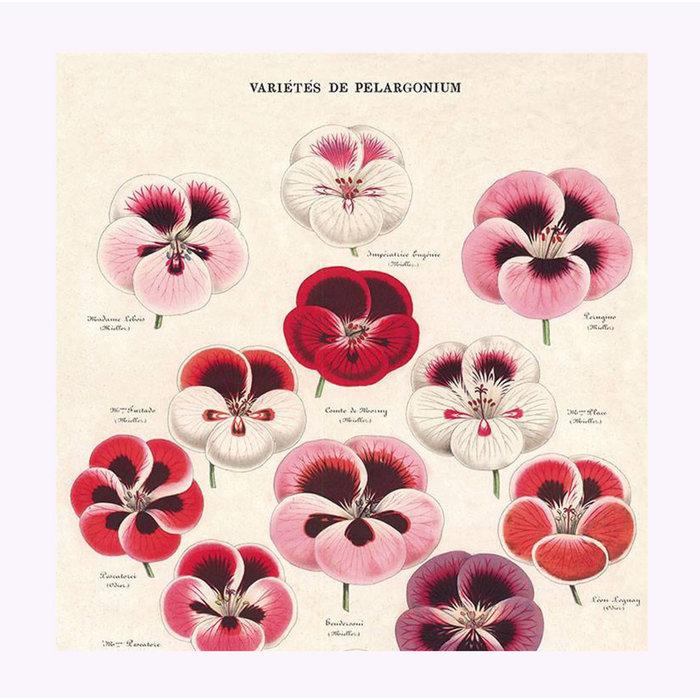 Affiche Cavallini Variété de Pelargonium
