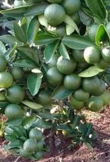 Burlap & Barrel Ground Black Lime