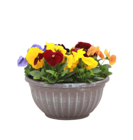 """Pansy Bowl 12""""-Assorted Colors"""