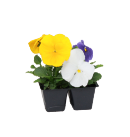 Pansy 4 Pack-Assorted Colors