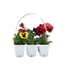 Pansy 6 pack-Assorted Colors